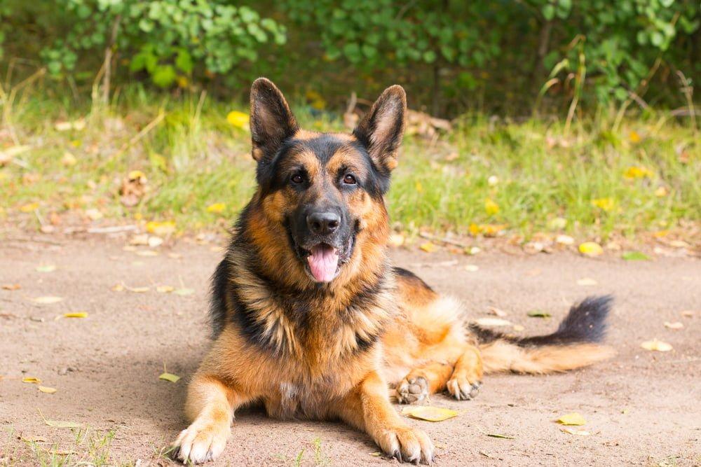 Huấn luyện chó Becige Đức
