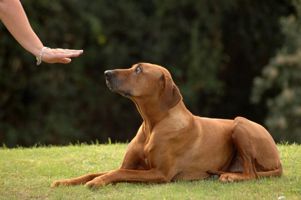 Cách dạy chó ngoan với 8 bài tập tại nhà | Huấn luyện chó Thành Tài
