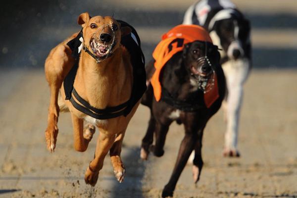 cần kỷ luật trong quá trình huấn luyện chó phú quốc