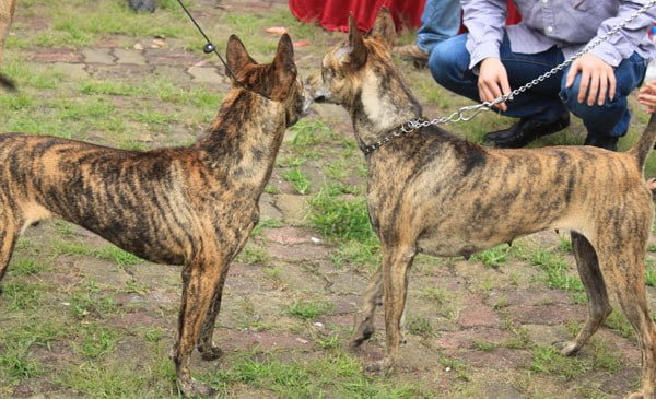 cần thường xuyên huấn luyện chó phú quốc
