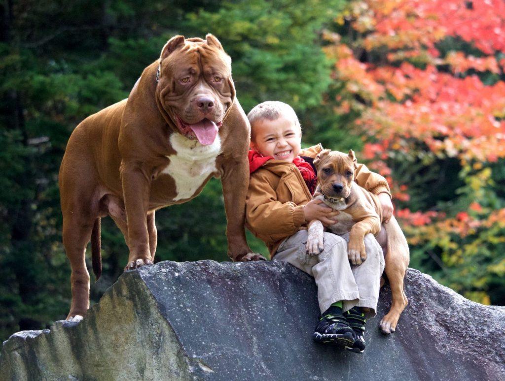 huấn luyện chó pitbull cần cẩn thận khi để chúng tiếp xúc trẻ nhỏ