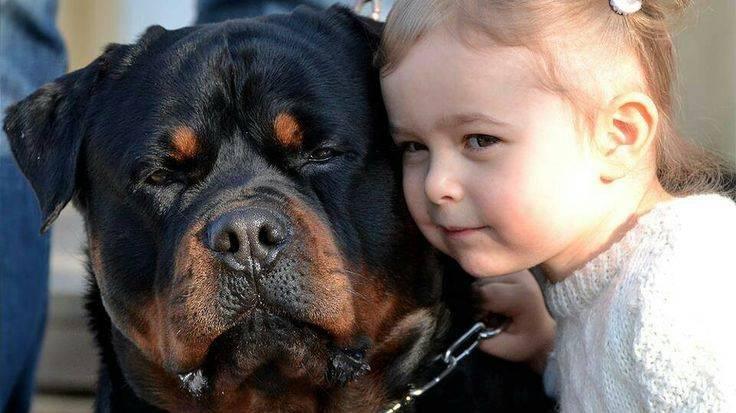 chó rottweiler rất tinh khôn và nhạy bén