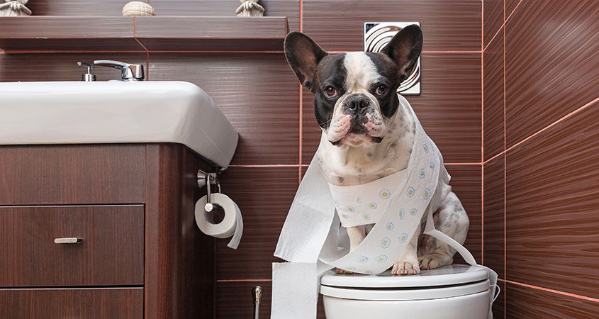 dạy chó đi vệ sinh trong bồn cầu