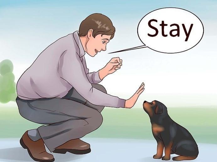 dạy chó rottweiler đứng im
