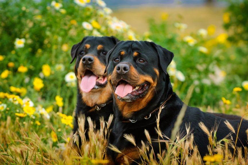 hướng dẫn cách huấn luyện chó rottweiler