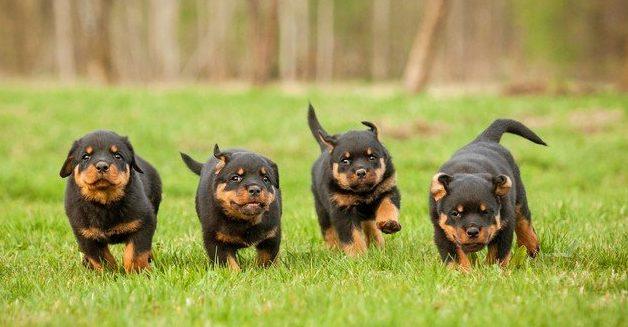 hãy huấn luyện chó rottweiler từ khi còn nhỏ
