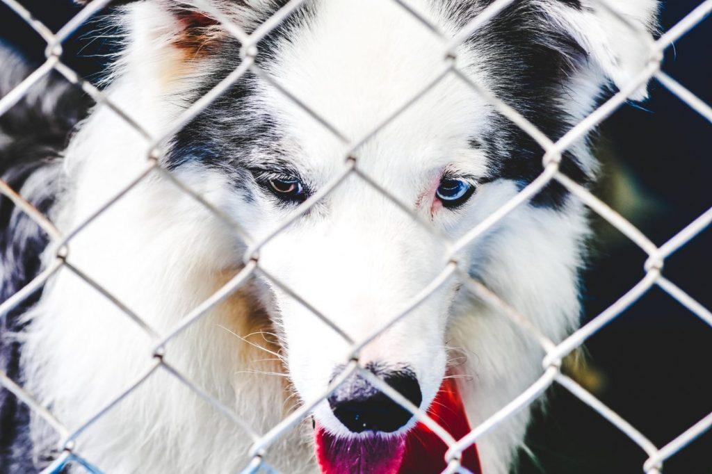 chó sẽ dữ khi bị nuôi nhốt nhiều