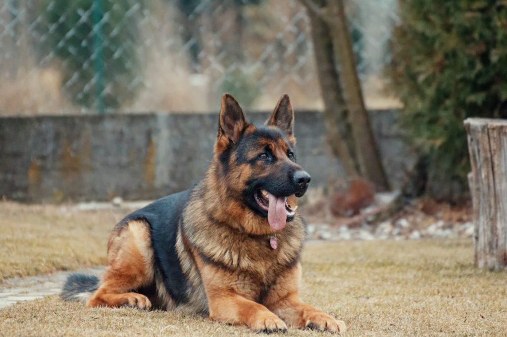 xích chó ở gần cửa để tập trông nhà