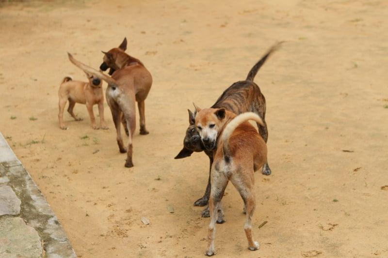 nuôi dạy chó phú quốc tại nhà