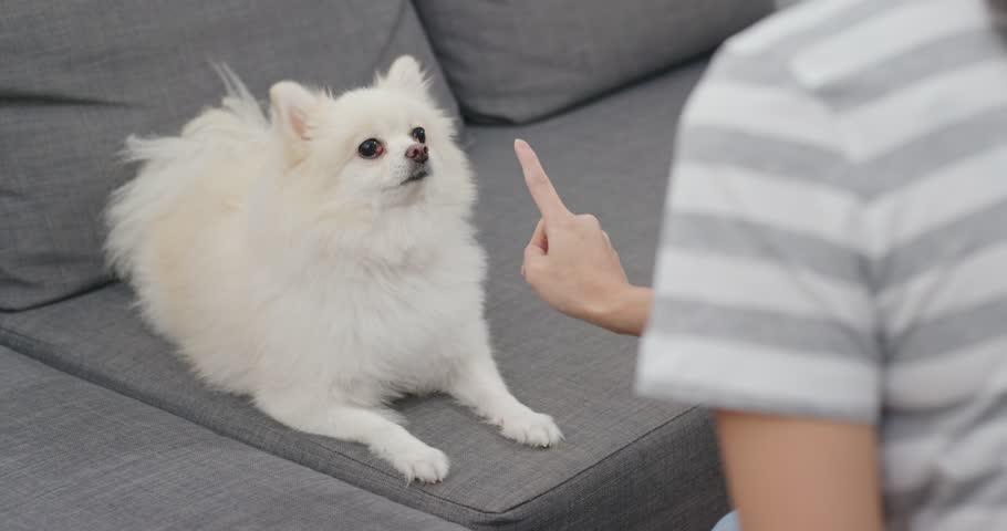 dạy chó phốc sóc các lệnh cơ bản