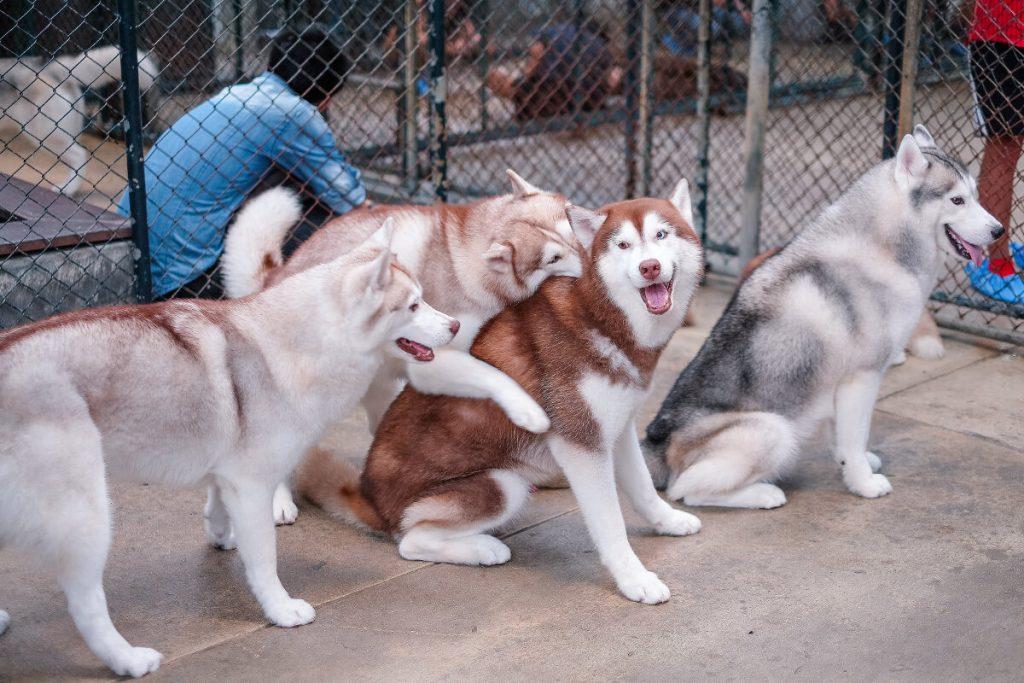 cách huấn luyện chó husky đi vệ sinh đúng chỗ