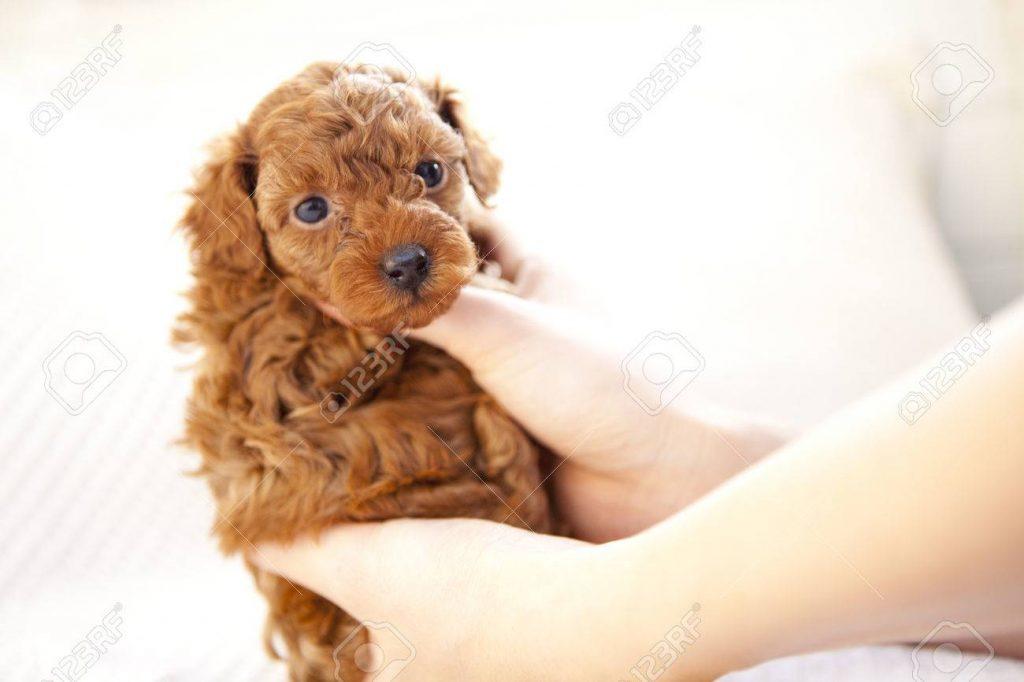 cách chăm sóc chó poodle