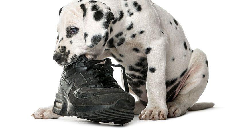dạy chó  cắn phá đồ đac không khó
