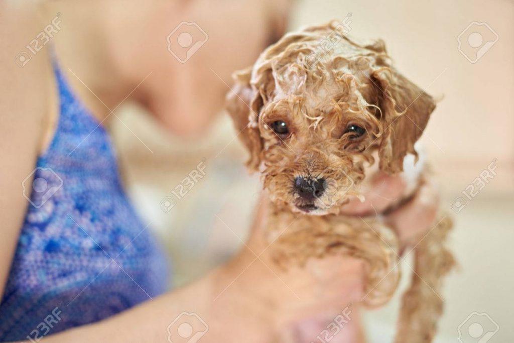 cách cho chó Poodle tắm