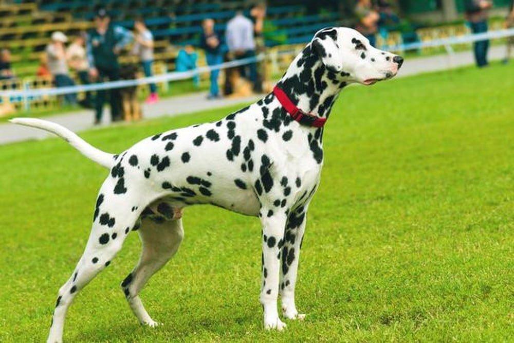 Dalmatian có thể lực rất tốt