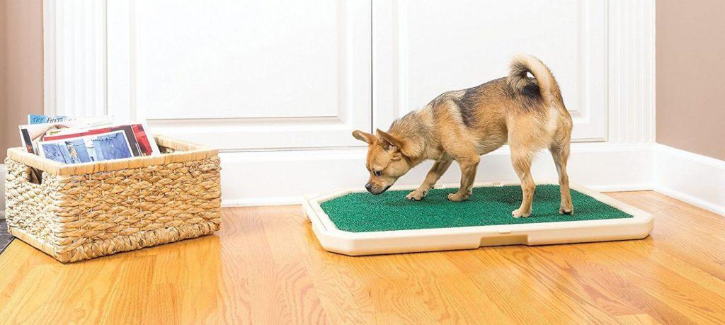 Dạy chó đi vệ sinh vào khay