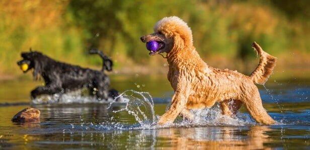 Poodle - Giống chó cảnh được yêu thích