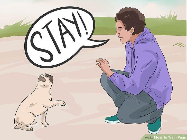 cách huấn luyện chó Pug làm theo lệnh