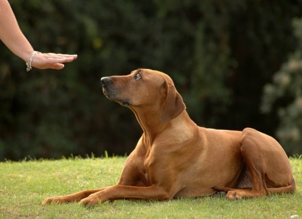 dạy chó lệnh nằm