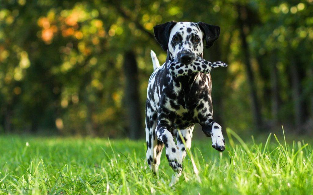 Chế độ dinh dưỡng của chó Đốm cần tuân thủ nghiêm ngặt