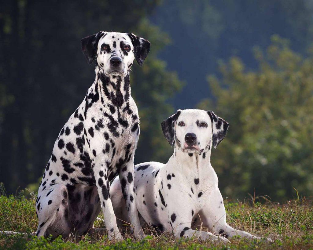 Giá chó Đốm được chia theo từng loại