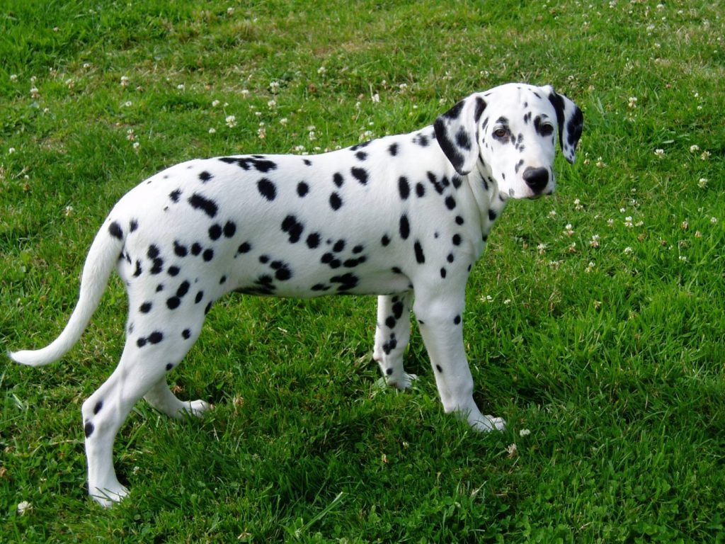 Chó đốm rất dễ phân biệt với các loài chó khác nhờ những đốm đen trên nền lông trắng