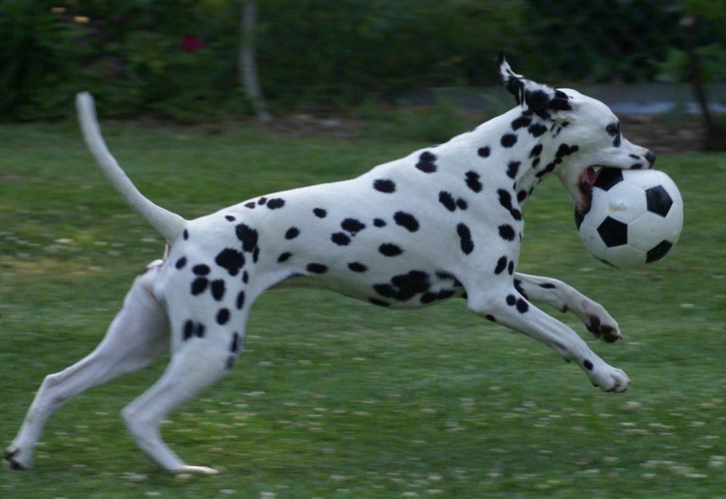 Chó Đốm sinh ra để vận động