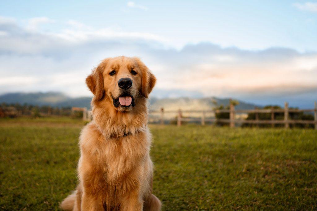 chó golden có nhiều biến thể