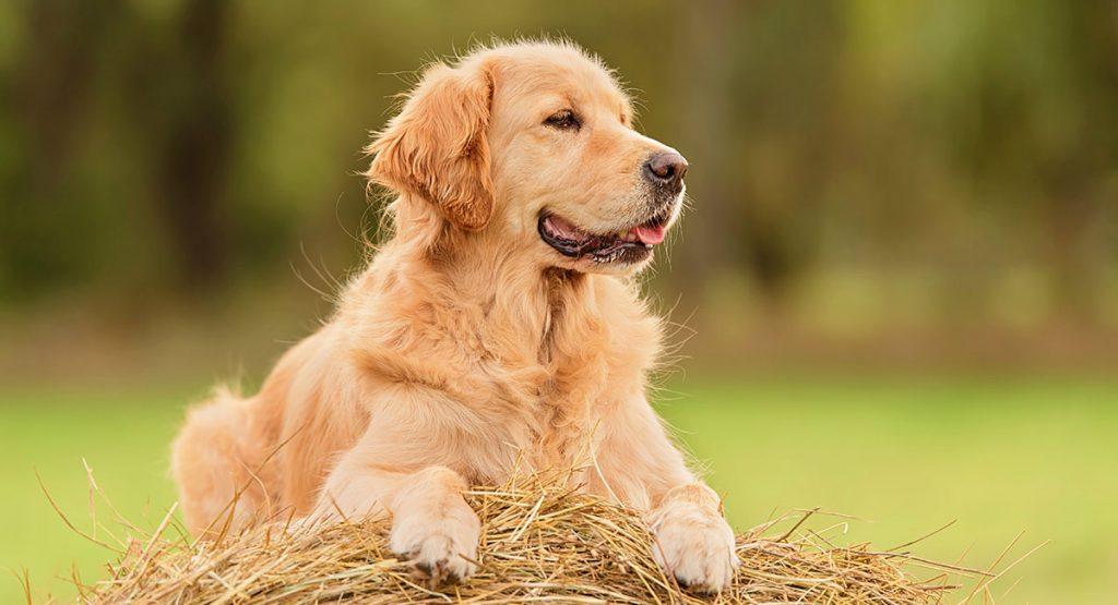 Chó golden trưởng thành
