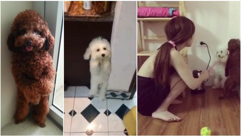 cách dạy chó poodle lạy