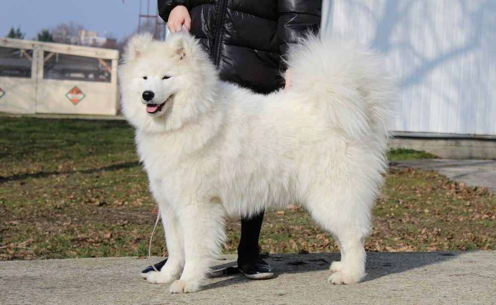 thức ăn cho chó samoyed