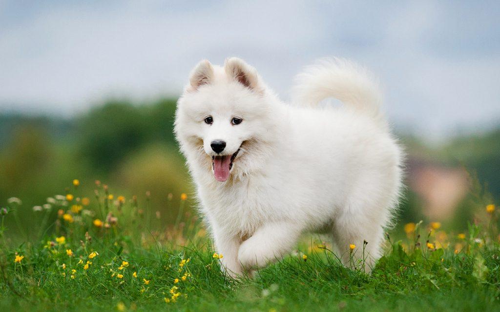 cách nuôi chó samoyed