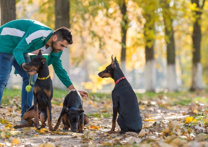 huấn luyện chó doberman cần áp dụng kỷ luật thép