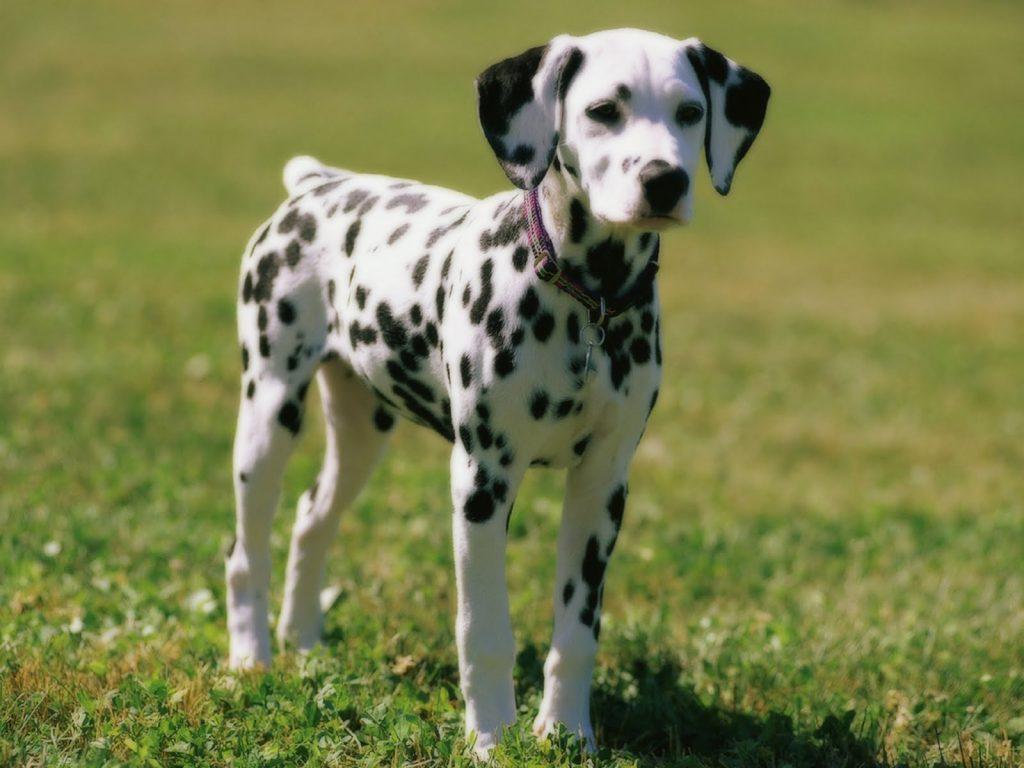 Giá chó Dalmatian phụ thuộc vào nhiều yếu tố