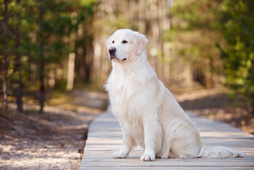 chó golden retriever trắng