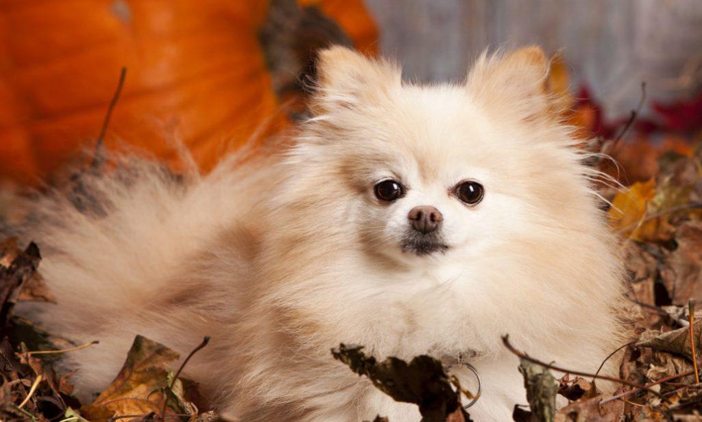 ngoại hình chó Phốc sóc khá nhỏ bé