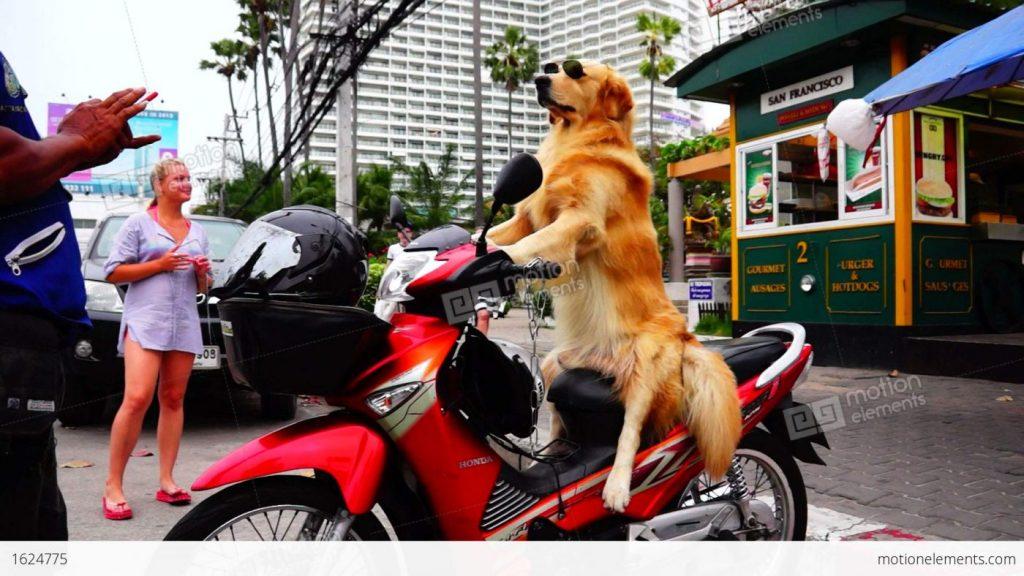 dạy chó giữ thăng bằng trên xe