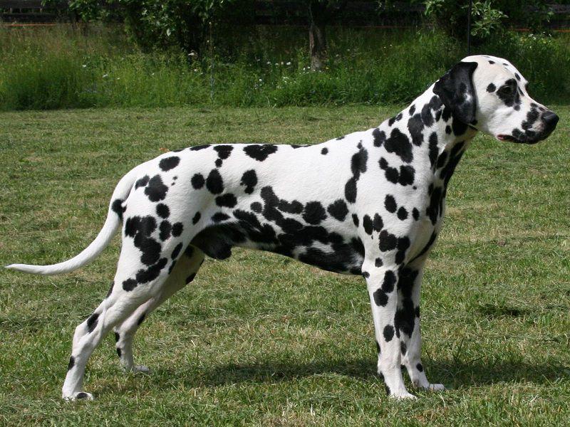 Nguồn gốc của chó Đốm vẫn còn gây nhiều tranh cãi