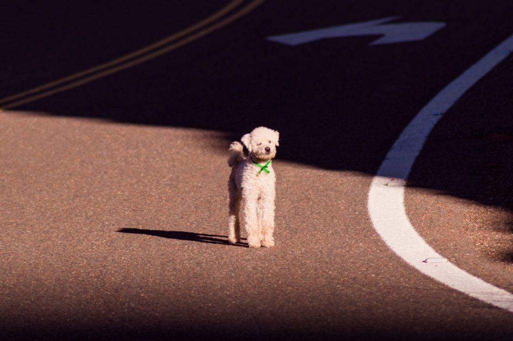 Chương trình huấn luyện chó Poodle (chuẩn Tây)   Trường chó Thành Tài