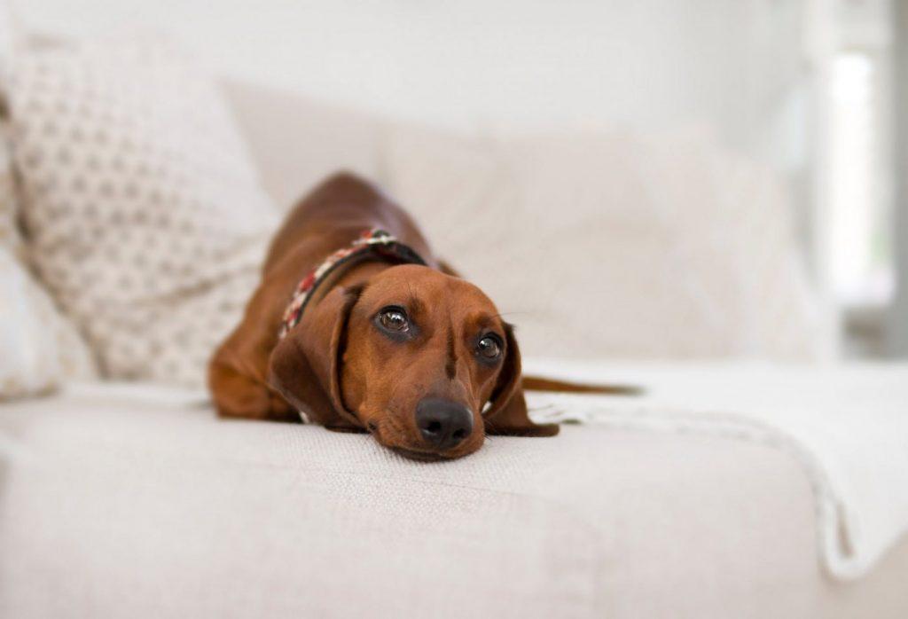 huấn luyện chó lạp xưởng cần sự kiên nhẫn
