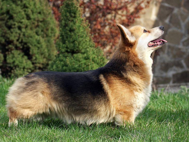 Phân loại chó Corgi