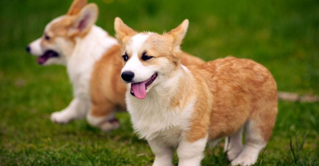 Chó Corgi có thân dài và 4 chân ngắn