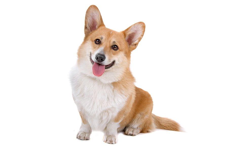 Đặc điểm tính cách của giống chó Corgi