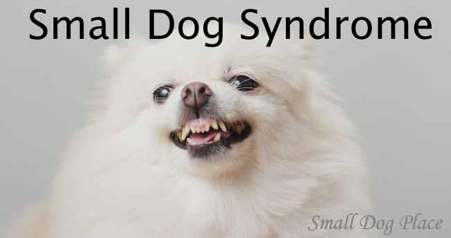phốc sóc thường hay bị hội chứng chó nhỏ