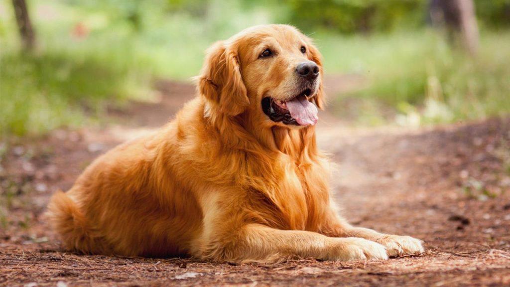 cách huấn luyện chó golden nằm theo hiệu lệnh