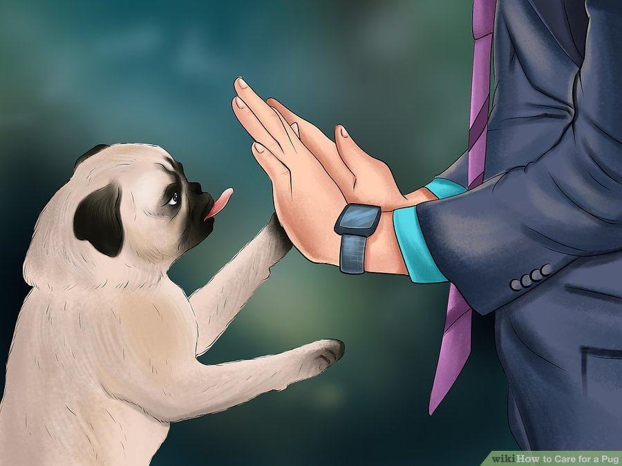 dạy chó pug lệnh bắt tay