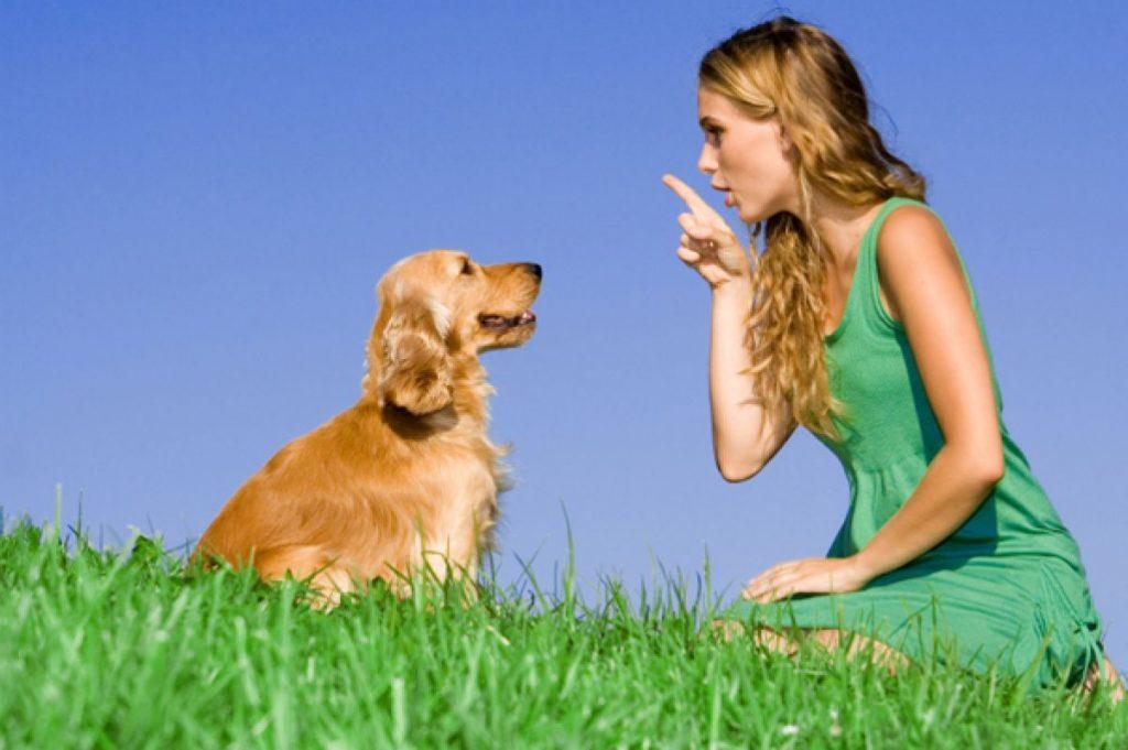 cách huấn luyện chó golden sủa theo lệnh