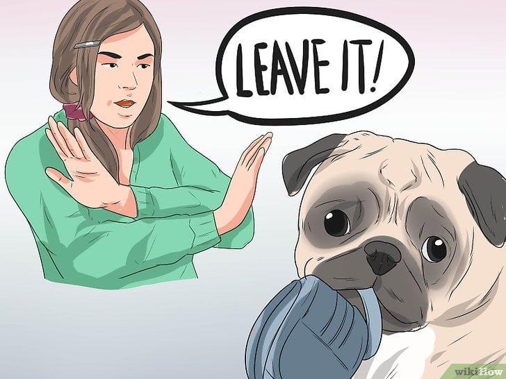 dạy chó pug không cắn phá đồ đạc